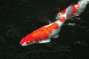 ปลาคราฟ,ปลามงคล,ชีวิตราบรื่น,ค้าขาย,เงินทอง,ธุรกิจ,หลี่,ฮวงจุ้ย,ผลกำไร