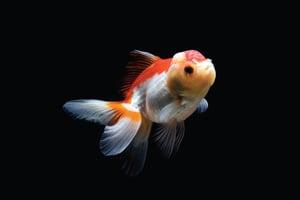 ปลาเงินปลาทอง,ปลามงคล,ชีวิตราบรื่น,ค้าขาย,เงินทอง,ธุรกิจ,หลี่,ฮวงจุ้ย,ผลกำไร