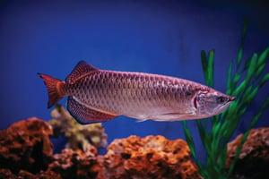 ปลามังกร,ปลามงคล,ชีวิตราบรื่น,ค้าขาย,เงินทอง,ธุรกิจ,หลี่,ฮวงจุ้ย,ผลกำไร