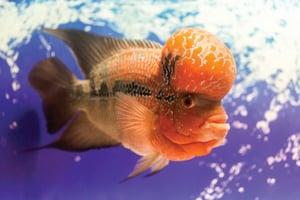 ปลาหมอสี,ปลามงคล,ชีวิตราบรื่น,ต้าขาย,เงินทอง,ธุรกิจ,หลี่,ฮวงจุ้ย,ผลกำไร